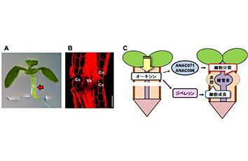接ぎ木接着にかかわる植物ホルモンの分子メカニズム