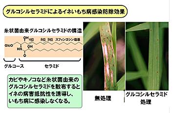 動物や植物におけるスフィンゴ脂質の生理作用についての研究