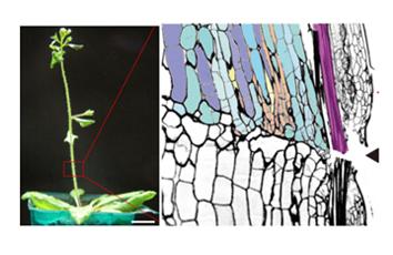 根の再生メカニズムを解明(筑波大学・神戸大学との共同研究)