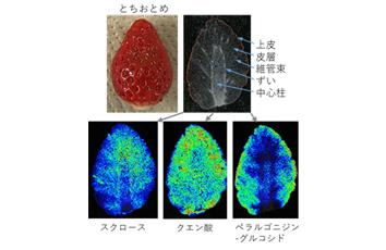 イチゴのもつ魅力を「見える化」し、栃木県の食農産業に貢献!