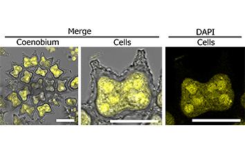 微細藻類の生活史の光調節機構の解明