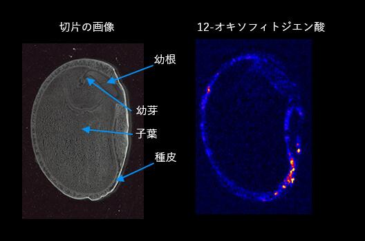 インゲン豆のジャスモン酸関連オキシリピンの可視化