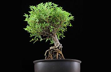 根の再生メカニズムを解明(北海道大学との共同研究)