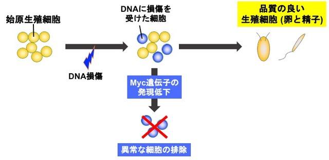 生殖細胞の形成過程における品質管理機構の解明