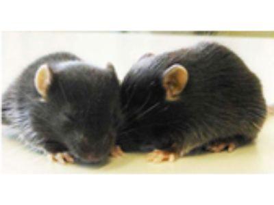 発達障害の神経病態の解明(動物分野)
