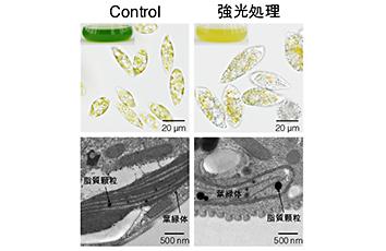 微細藻類の強光ストレス耐性向上のための分子機構の解明