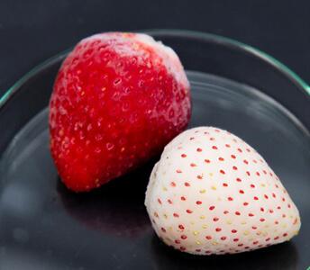 質量分析イメージングの対象として研究室で冷凍保存しているイチゴ
