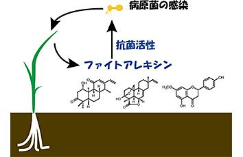 イネの抗菌性二次代謝産物の生産制御機構の解明