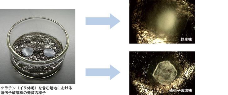 ケラチン(イヌ体毛)を含む培地における遺伝子破壊株の発育の様子